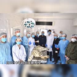 """国内首例!我校动物医学院野生动物医疗救助团队助力雪豹""""凌蛰""""成功放归"""